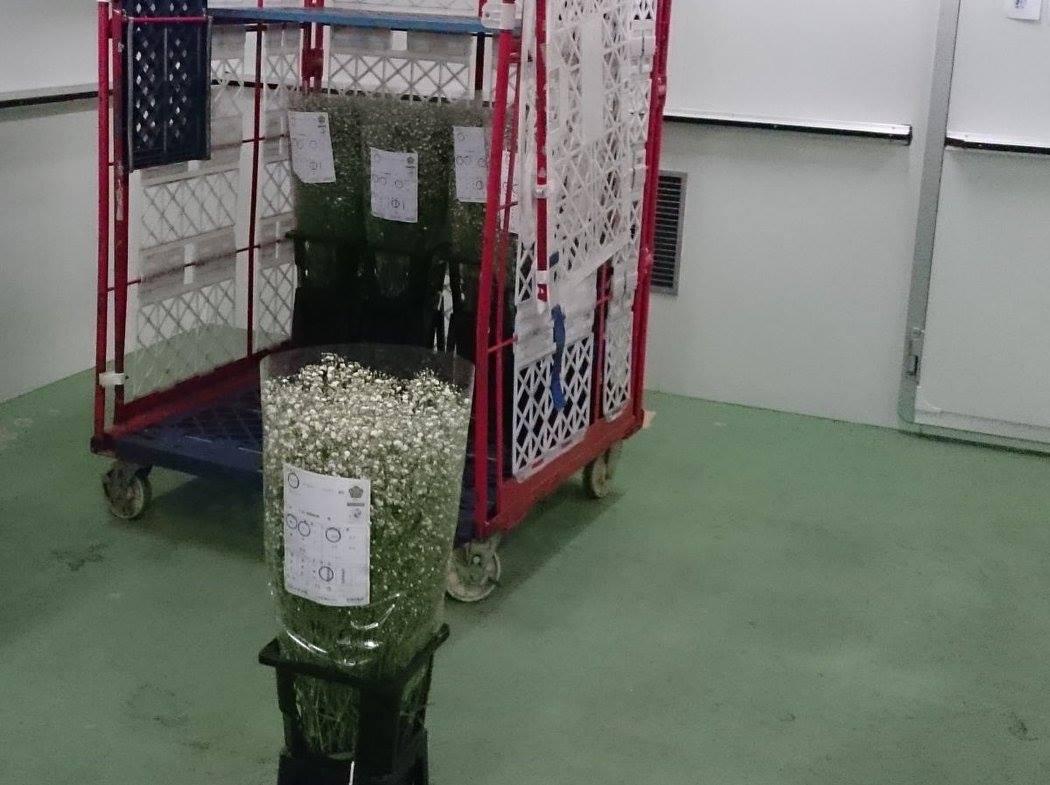 昭和村の代表的作物カスミ草をこの雪を利用して鮮度を保っている!説明を聞きながら見学させて頂いた!