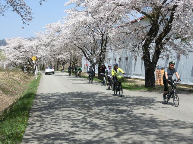 永田の桜並木の下を走る