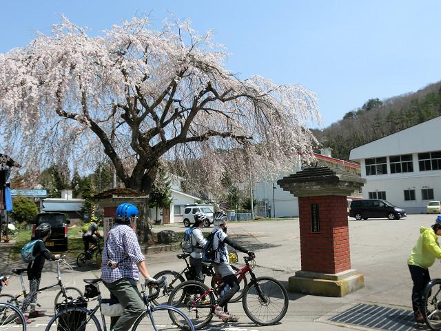 田島小学校の枝垂れ桜