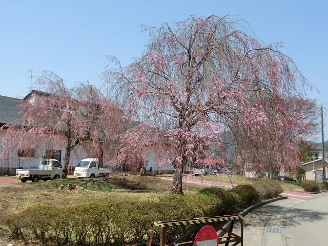 入り口の枝垂れ桜はまだ3分咲き