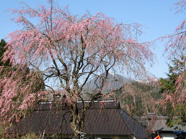 ここの2本の枝垂れ桜も見応えがある。まだ5分咲きだった