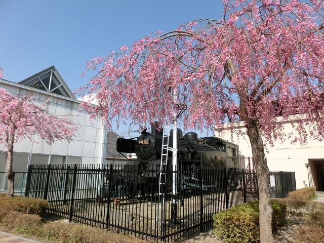 田島駅のSL横のしだれ桜も一気に開花!お疲れ様でした!