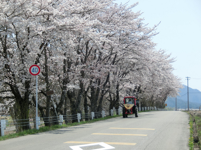 野球場横の桜並木