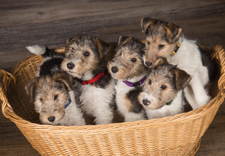 A-Wurf - foxterrier-siebenquellens Webseite!