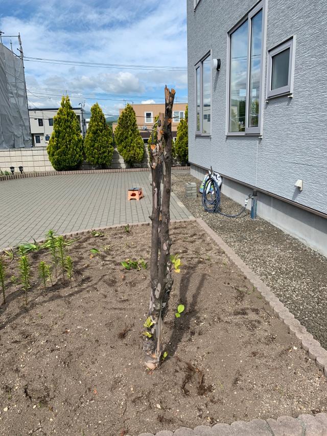3件 : エゴノキ・ナツツバキの抜根・枝投棄・支柱外し|コニファー剪定│除草