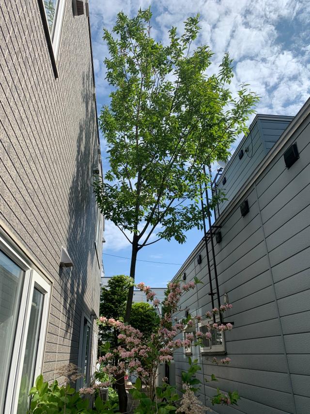 2件 : ヤナギ伐採8mと五葉松の剪定