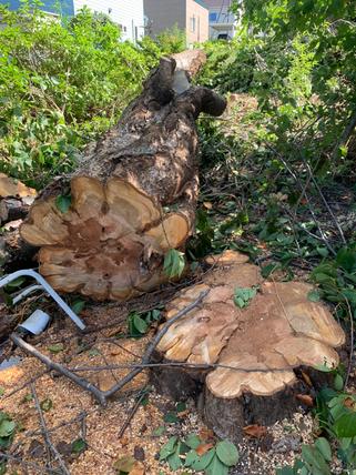 サクラと松の伐採