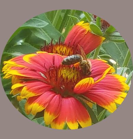 Biene mit orangen Pollenhöschen auf Kokardenblume, Cover Buch: Bienen unterstützen und Bienen halten von K.D. Michaelis