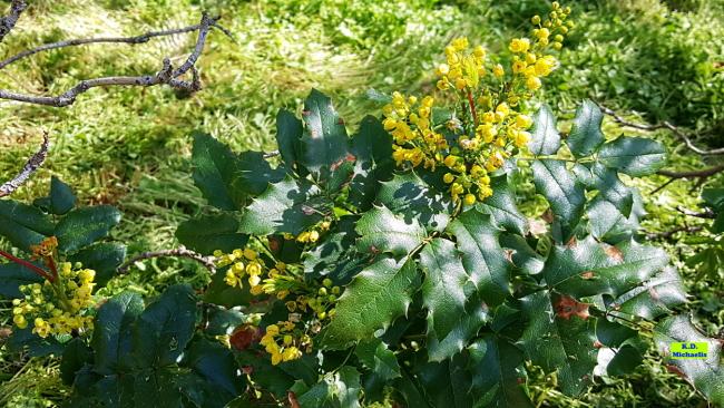 Auffälliger Frühjahrsblüher mit viel Nektar - die invasive Mahonie