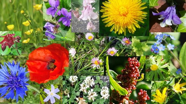 Wiesenblumen - Gänseblümchen und Co
