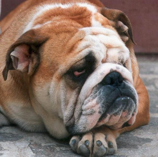 Vinchence Obri (Tsitseron ot Tsefeia x Dnepr Happy-Dogs Holli) (вл. Крыжановский В.) Ukraine