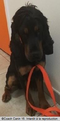 Oslo le petit cocker martyrisé chez le vétérinaire avec une laisse orange pour le tenir par coach canin 16 educateur canin en charente