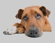 La tête d'un chien sans race posée sur ses pattes marrons avec le bout de ses pattes blancs et le regard triste par coach canin 16 dresseur de chien à angouleme