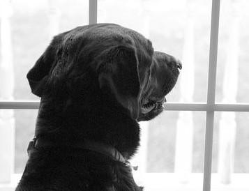 un chien labrador noir derrière une fenêtre par coach canin 16 dressage chien angoullême