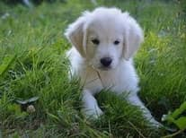 chiot golden retriever blanc assis dans l'herbe par coach canin 16 educateur canin charente