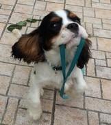 chien cavalier king charles noir et blanc tient sa laisse dans sa gueule par coach canin 16 en charente