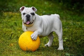 chien bouledogue français la patte sur un ballon jaune par coach canin 16 educateur canin charente
