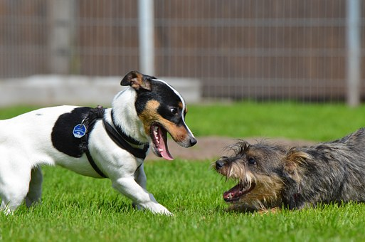 Oreille arrière et basse d'un chien jack russel jouant avec un autre chien