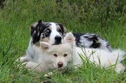 un chien berger australie pose sa tête sur un berger blanc par coach canin 16 educateur canin en charente