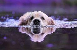 un chien golden retriever nage par coach canin 16 charente