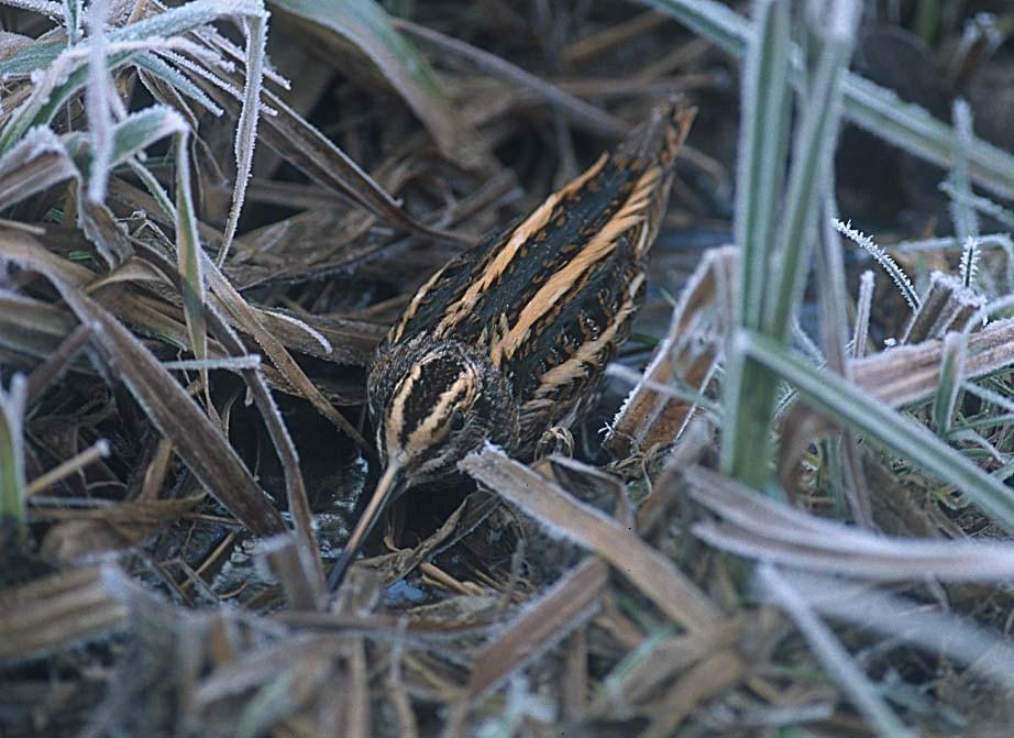 Zwergschnepfe: versucht regelmäßig an Sumpfstellen und Wassergräben zu überwintern