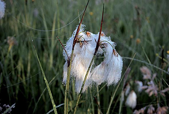 Wollgras an feuchten Stellen im Schutzgebiet