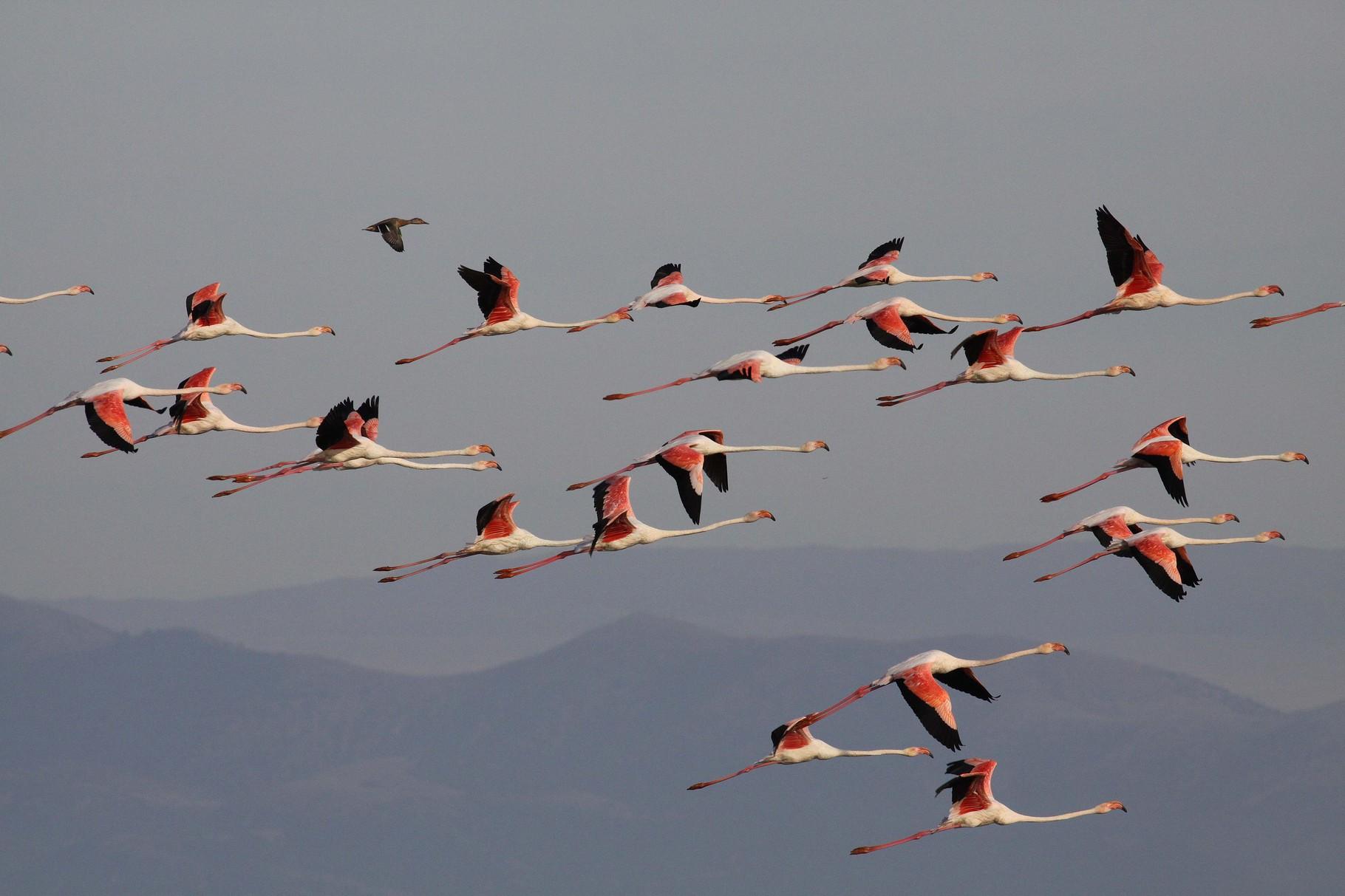 Flamingos: bis zu 3000 Exemplare lassen sich am Kerkini bestaunen