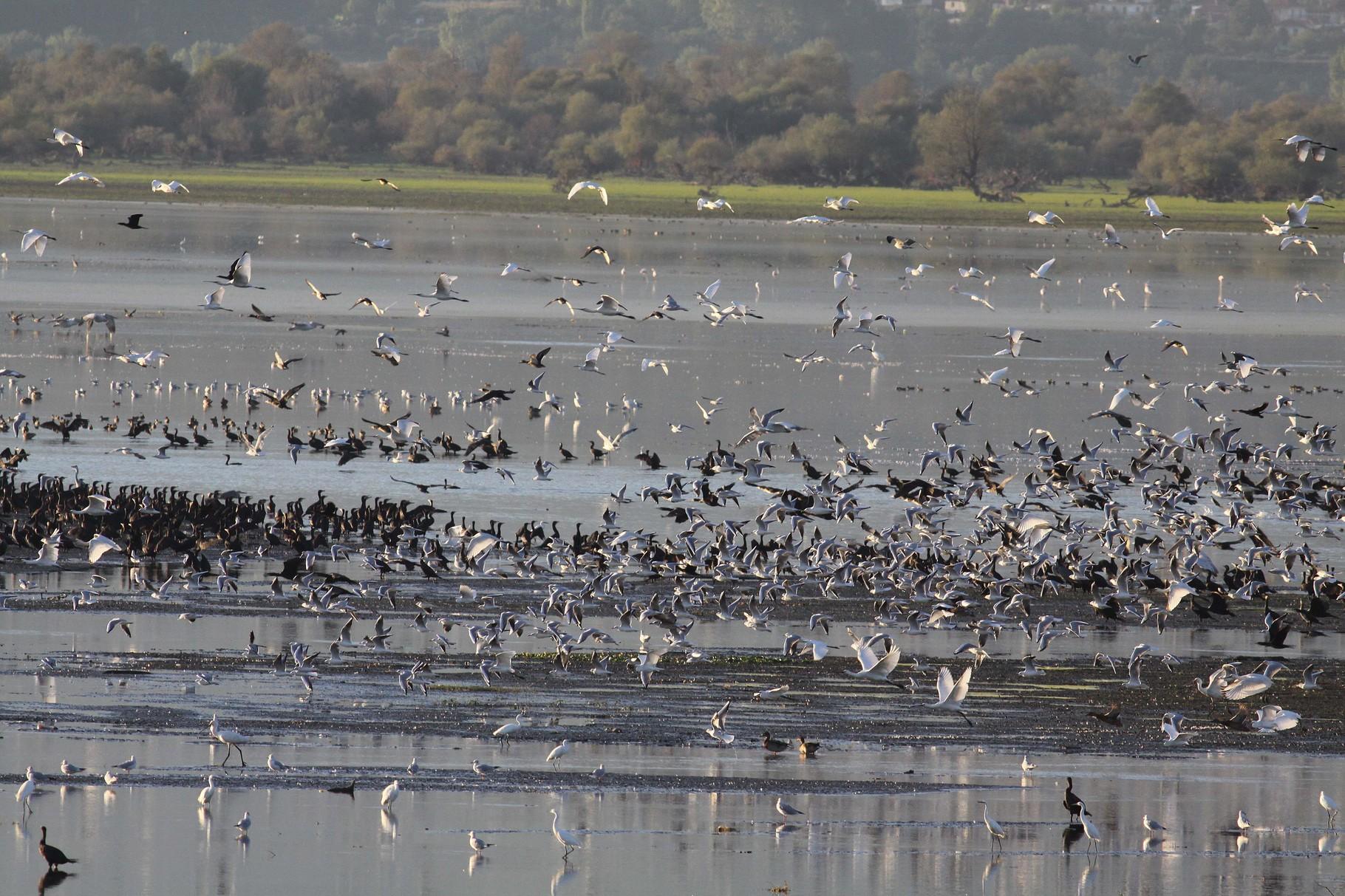 Große Schwärme von Fischfressern werden am Kerkini-See geduldet