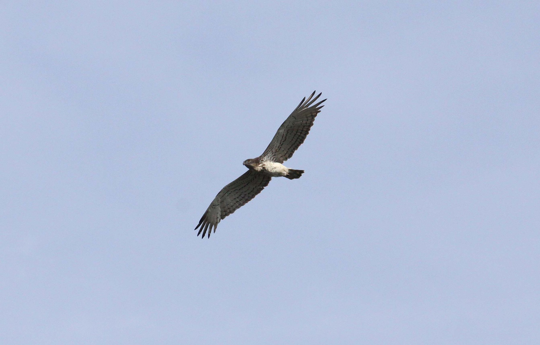 Schlangenadler 2014: über den Evros-Hügeln regelmäßig zu beobachten