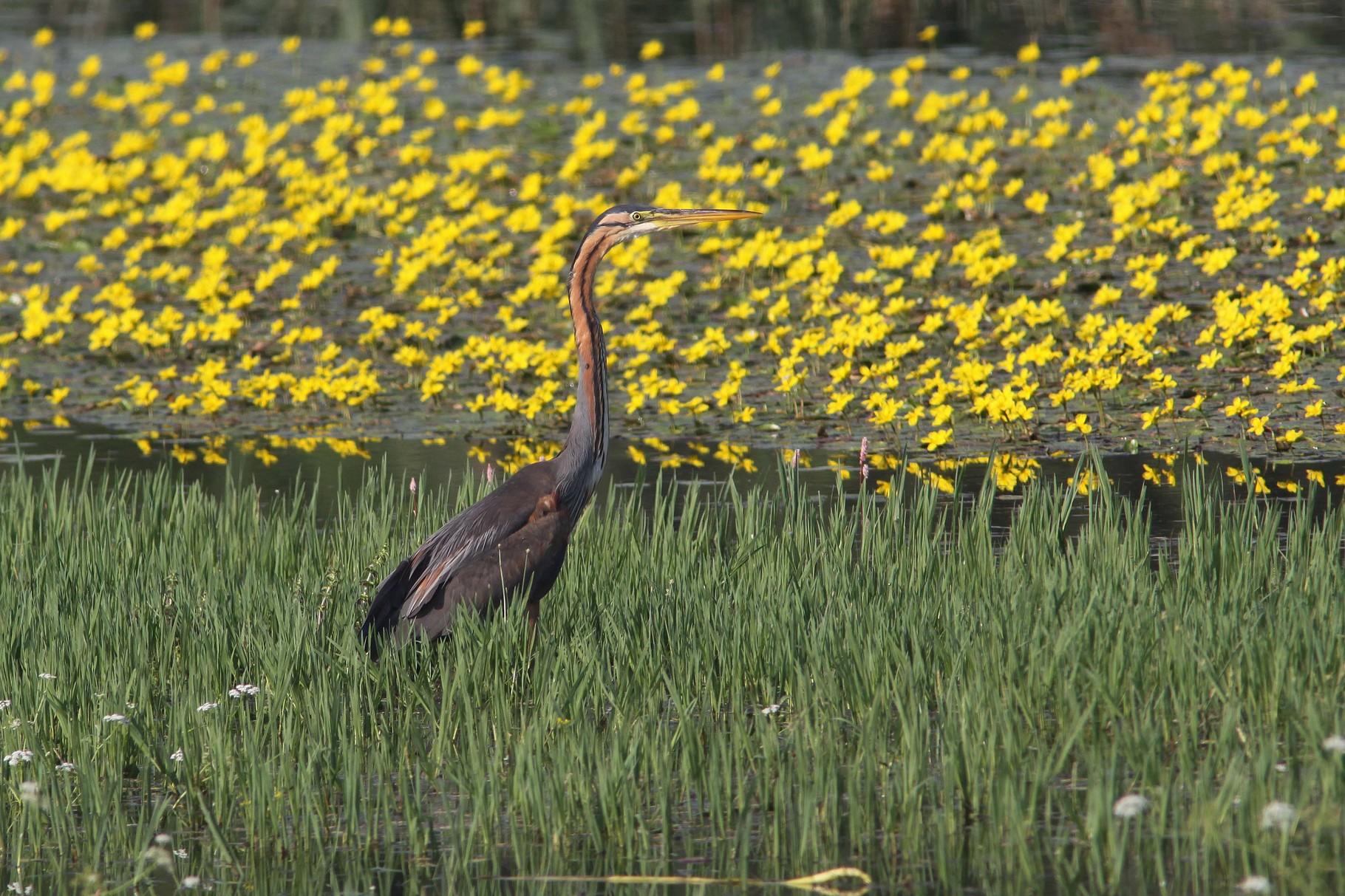 Purpurreiher: auch er nutzt die Seichtwasserzonen zum Fischfang