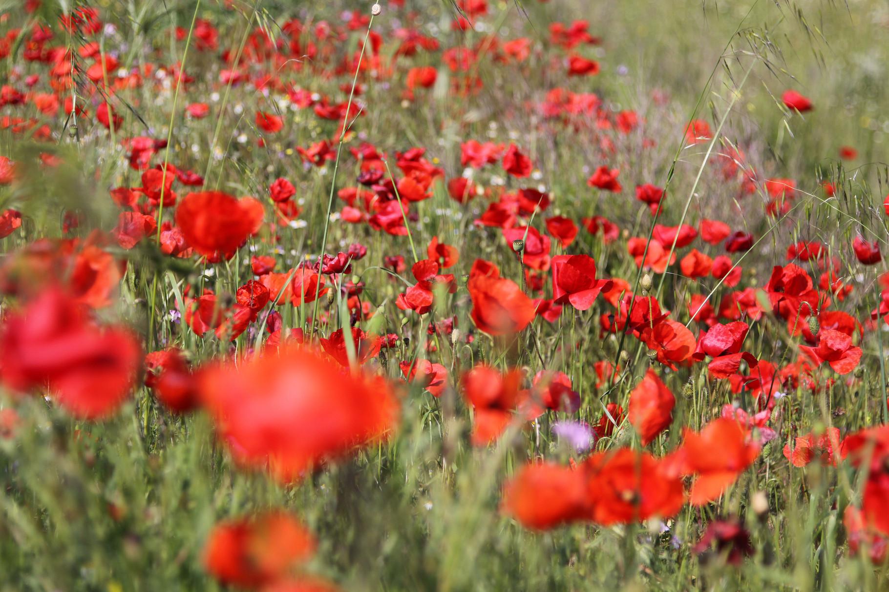 Blütenpracht bei Paläokastro unweit der bulgarischen Grenze