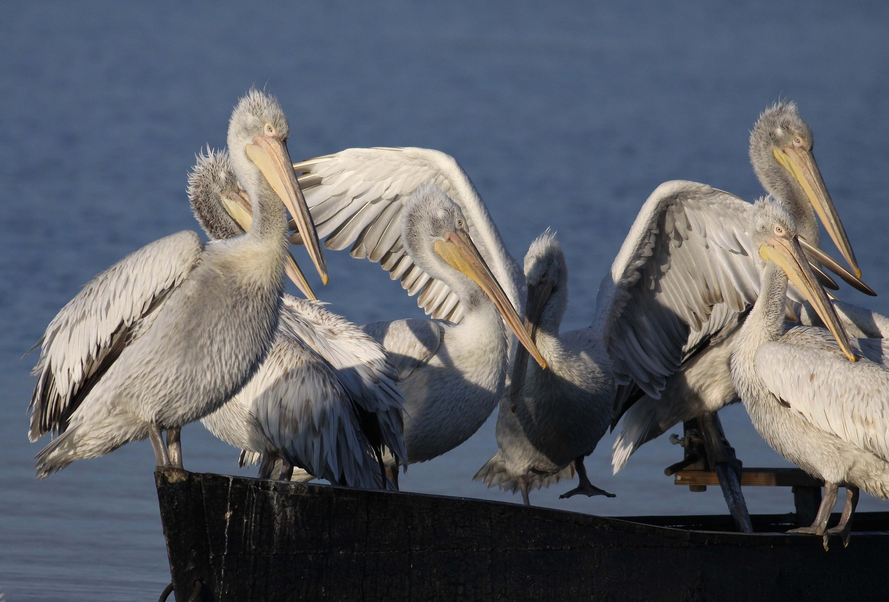 Krauskopfpelikane auf einem Fischerboot: Dank der Akzeptanz durch die Fischer hat eine der am stärksten bedrohten Vogelarten Europas eine neue Brutkolonie etabliert.