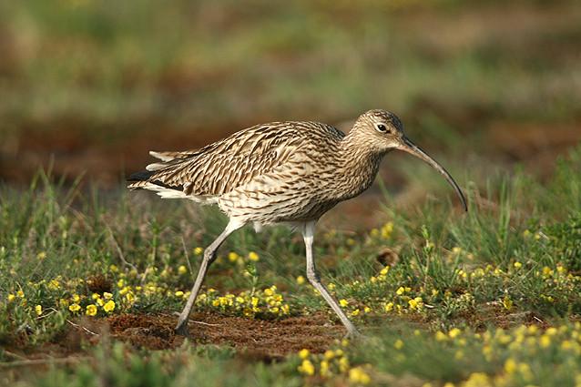 Brachvogel in einer Moorwiese, Nahrung suchend