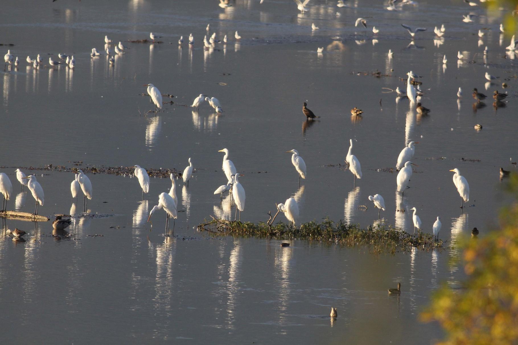 Ein Paradies für Reiher: etwa 500 Paare Seidenreiher brüten am Kerkini, im Winter werden bis zu 1500 Silberreiher gezählt