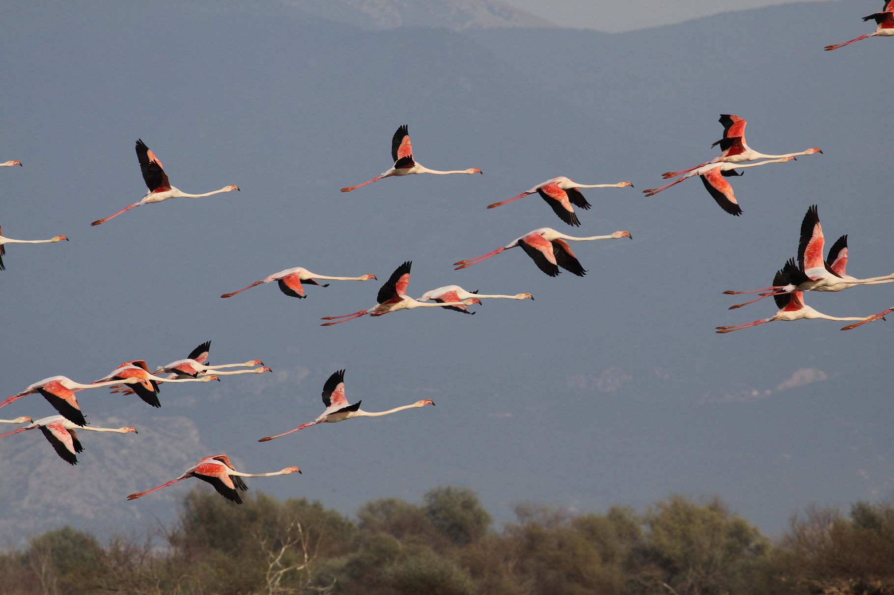 Flamingos, Kerkini, September 2013