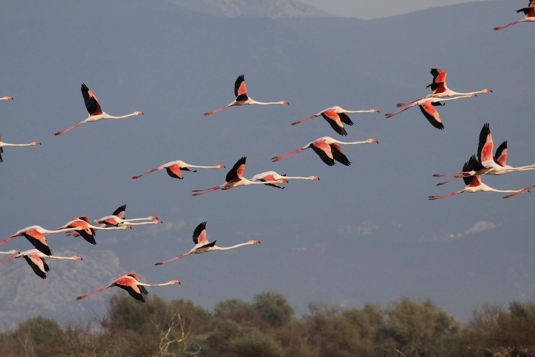 Flamingos, Kerkini, September 2013