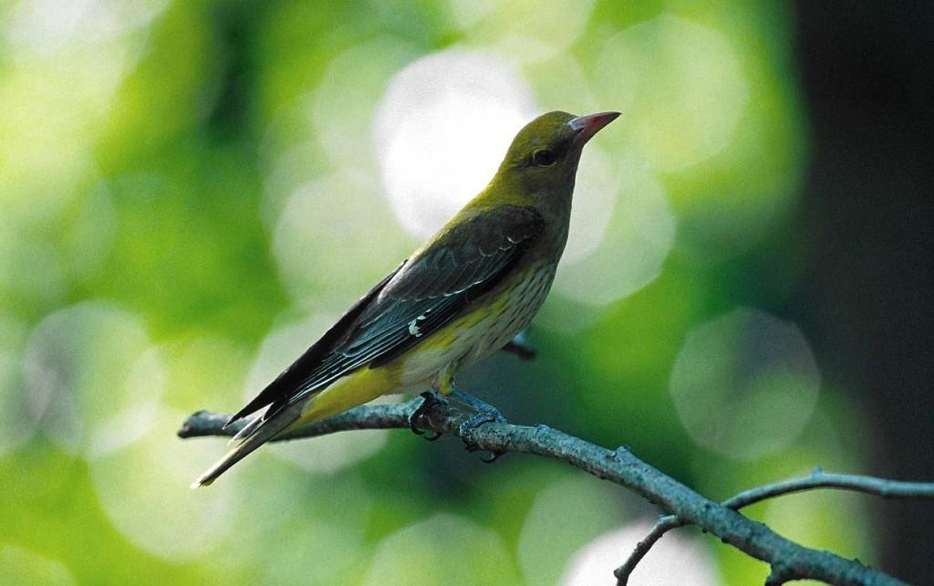 Pirol: einer der auffälligsten Sänger der Galeriewälder entlang der Krems