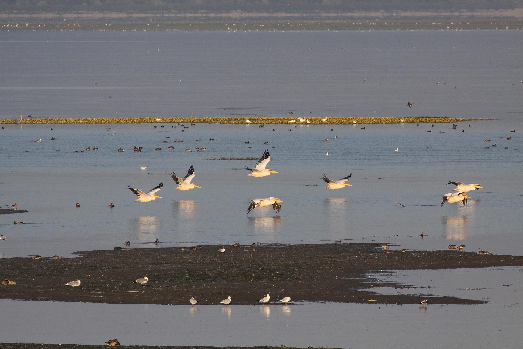 Krauskopfpelikane fliegen am Morgen zum Fischen