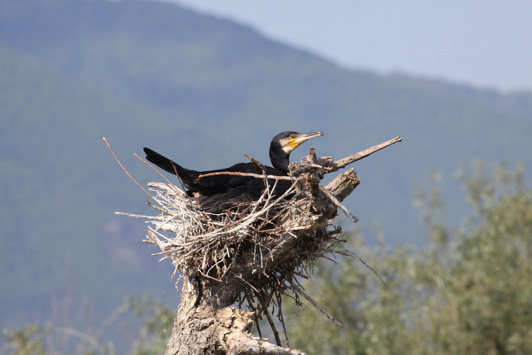 Kormoran am Nest: über 1000 Brutpaare kommen am Kerkini vor