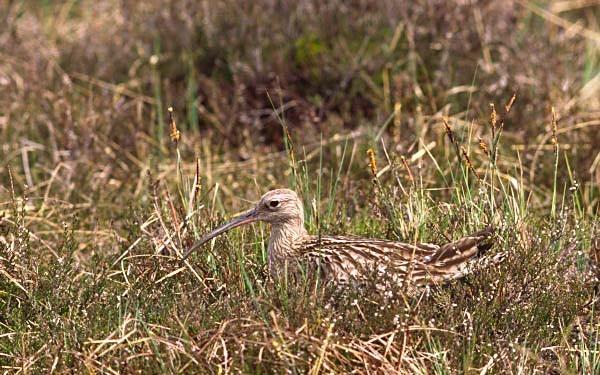 Brütender Brachvogel im Ibmer Moor, 1960er Jahre