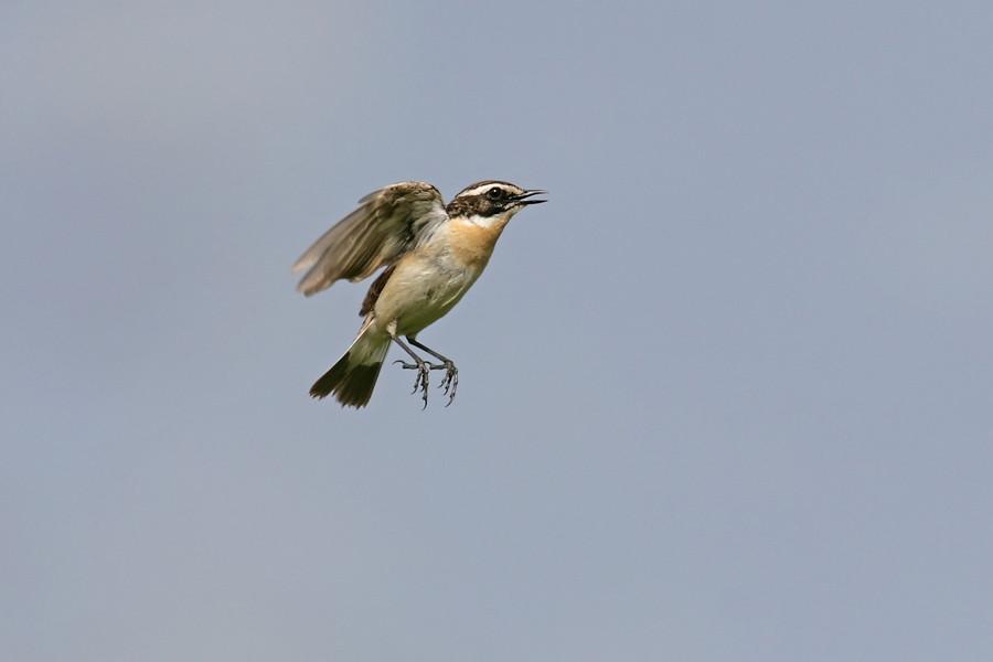 Braunkehlchen jagen Insektennahrung gerne im Flug