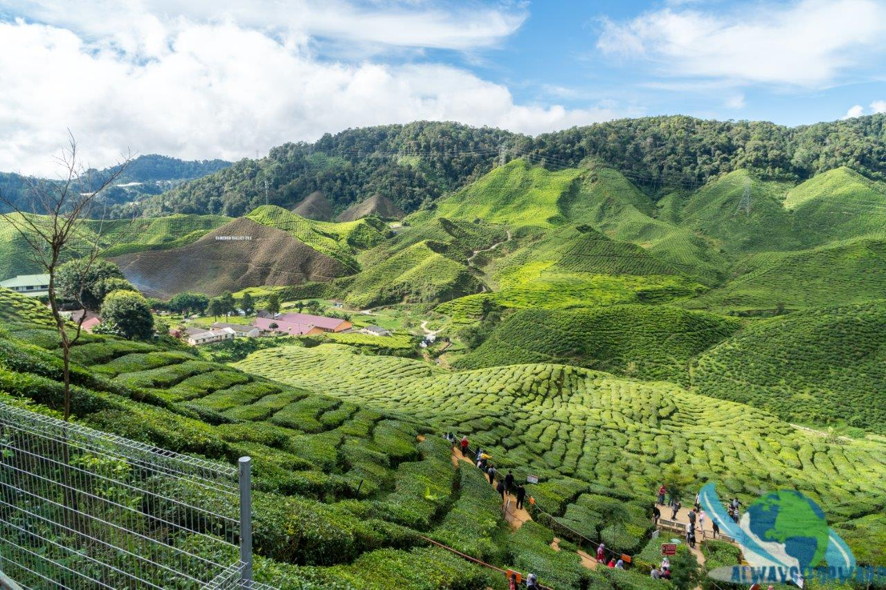 überall wird Tee angebaut