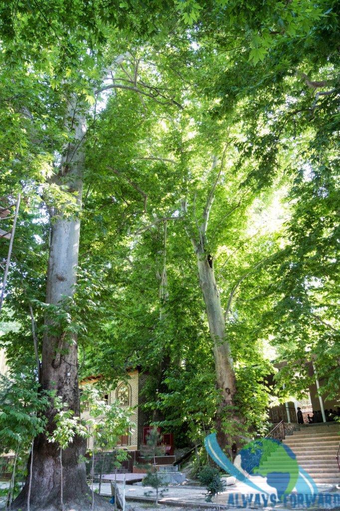 über 1000 Jahre alter Baum