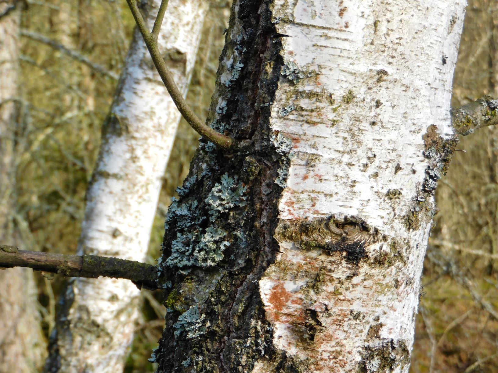 """Die Birke – eine unterschätzte """"Schlüsselbaumart"""" für den ökologischen Waldumbau"""