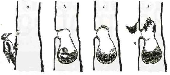 Abb. 3: Nutzungsentwicklung einer Spechthöhle (verändert nach FRANK 1994). Eine Quartiereignung für Fledermäuse ergibt sich mitunter erst ein Jahrzehnt nach Verlassen der Bruthöhle durch den Specht.