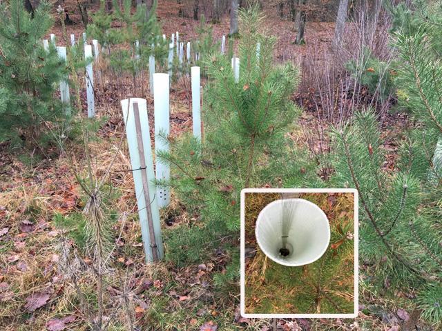 """Foto Jan 2020 Westlicher FFH Reliktwald Lampertheim mit Kiefernaufforstung. Die gepflanzten """"Alibi""""- Laubbäume dazwischen gehen oft zügig ein, siehe leere Hülle. Dagegen kommen auch dort überall gesunde Rotbuchen von allein."""