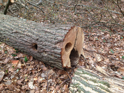 Saarland: Biotopbaumfällungen in der Brutzeit im Stadtwald Saarbücken