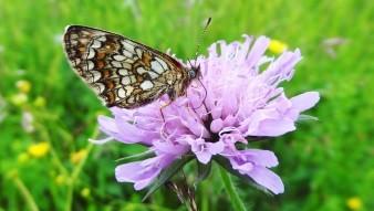 Scheckenfalter auf Witwenblume