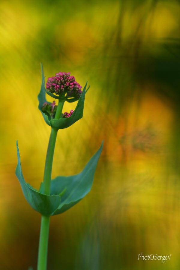 La fleur qui danse