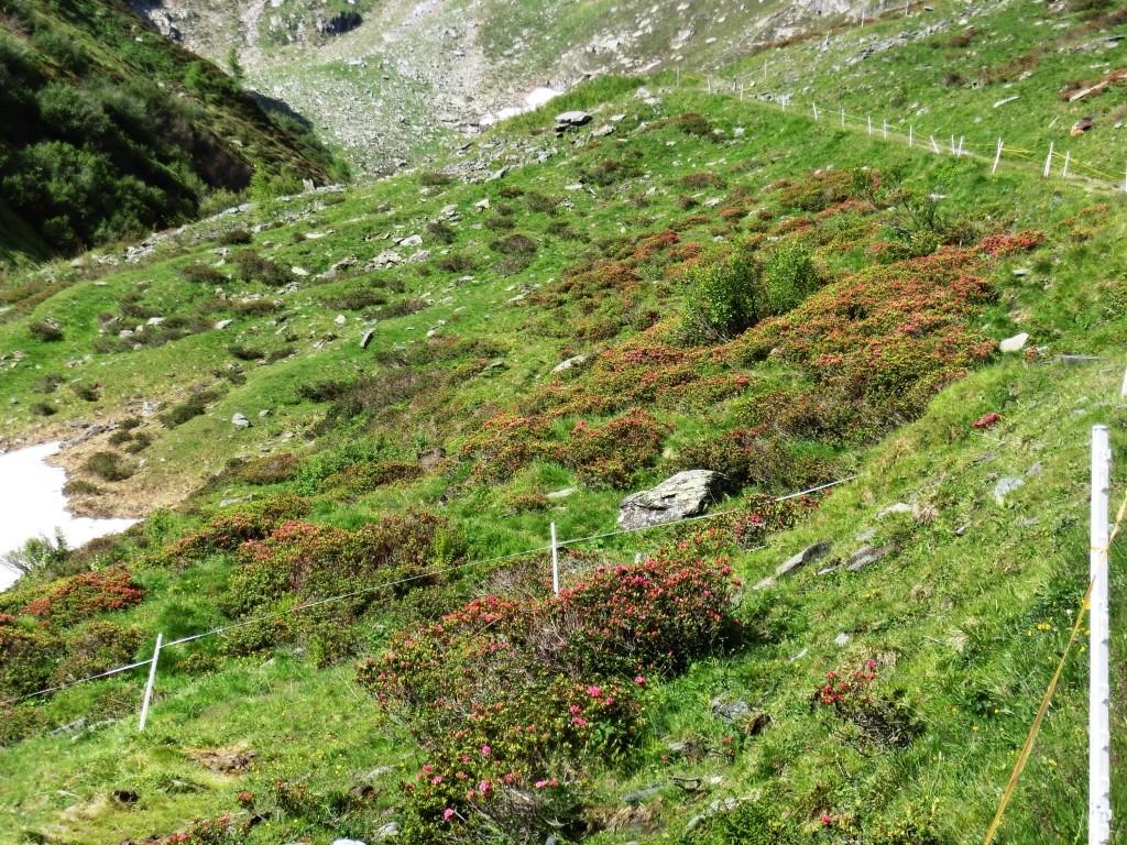 Wenn die Alpenrosen erst alle blühen!